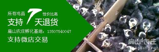 火鸡苗孵化场批发价格出厂-性价比高
