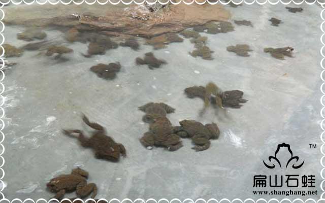农庄养殖石蛙成功的关键