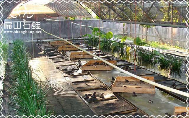 福建石蛙养殖光盘经验