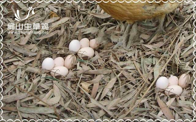 石蛙吃土鸡蛋养殖基地大全