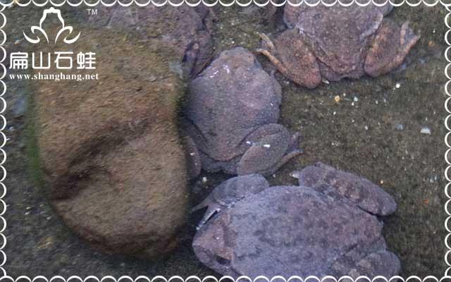 高科技养殖石蛙技术经验光盘分享