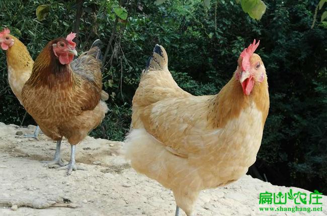 荔浦散养土鸡养殖