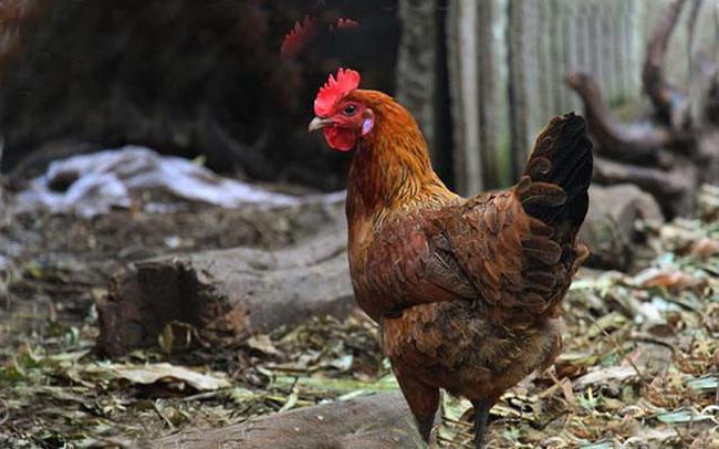 连城七彩山鸡