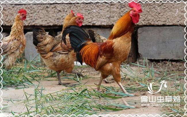 连城农家散养土鸡