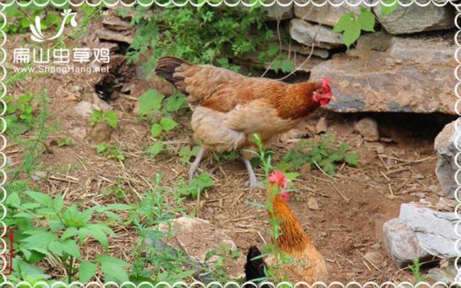 连城珍珠商品鸡