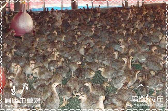 福州蛋鸡出售