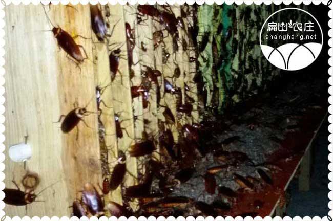 龙岩黄粉虫干养殖基地