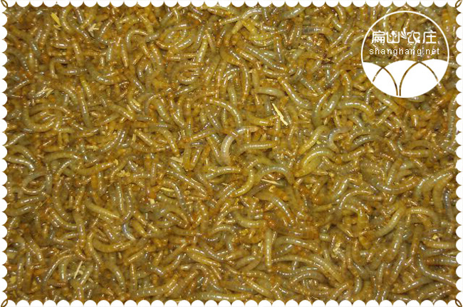 福建黄粉虫种苗