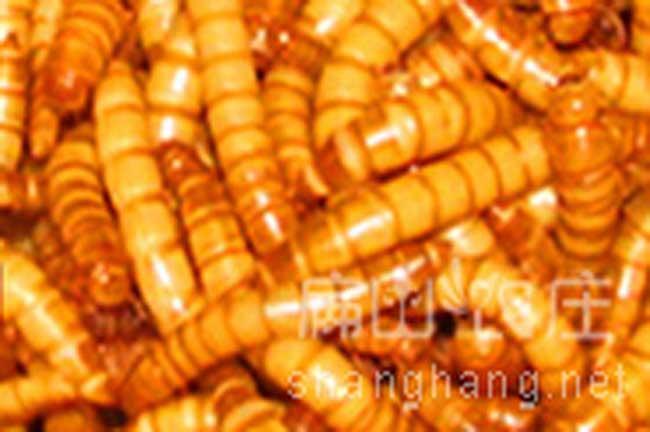 龙岩黄粉虫批发厂家