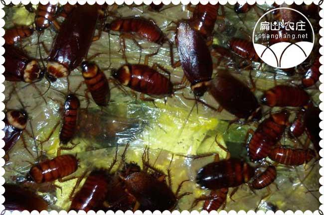 黄粉虫仓鼠粮食