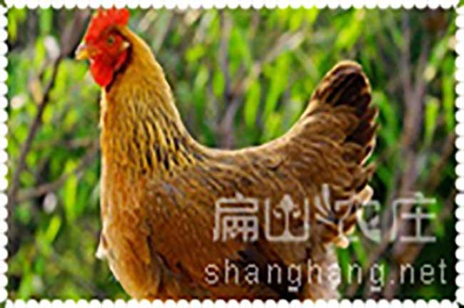 清远鸡多少钱一斤?