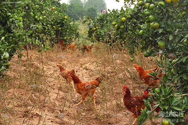 闽西橘园散养土鸡养殖基地