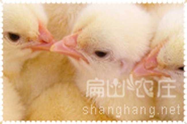 厦门山鸡公鸡