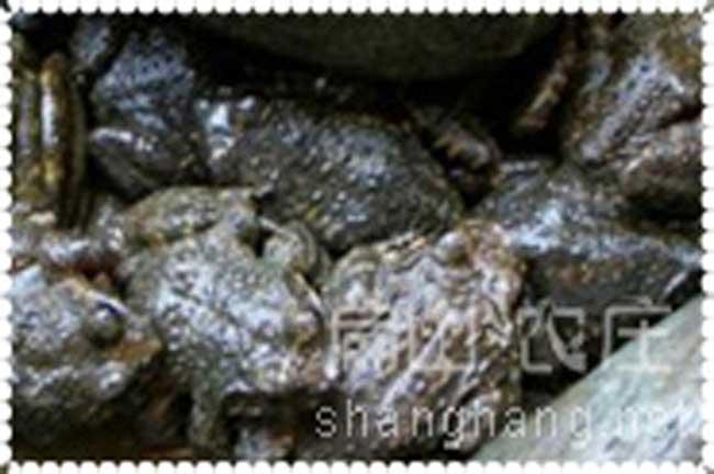 厦门生态石蛙养殖