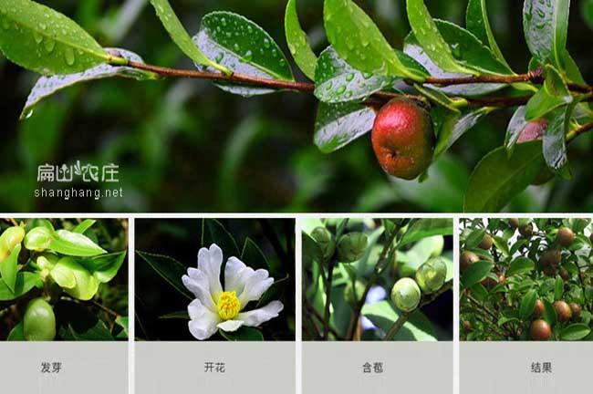 福建大果红色茶籽树苗