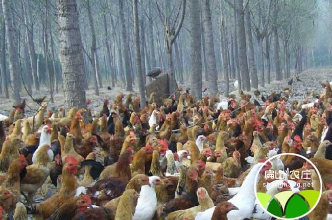 2016山地散养土鸡