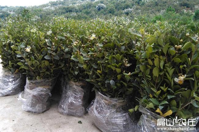 湘林27油茶油茶苗
