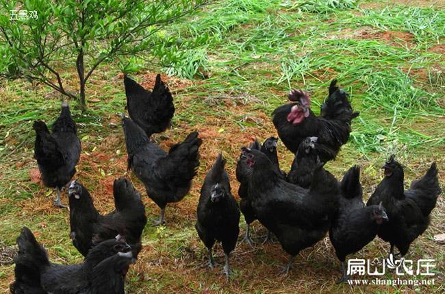 扁山农庄正货五黑鸡基地