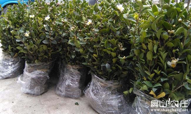 大果红白花茶油树苗
