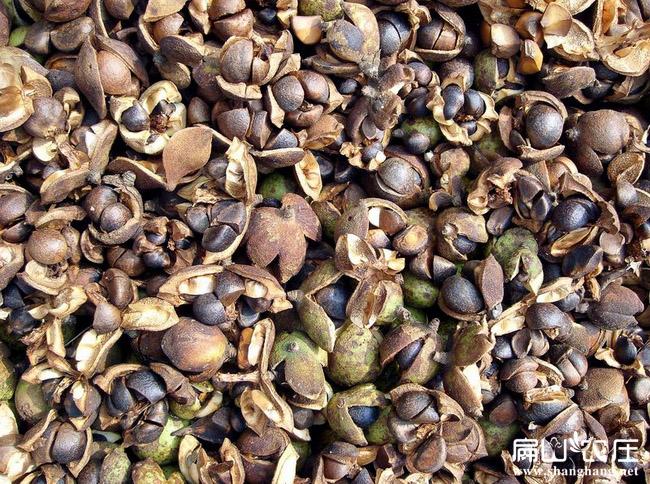 云南茶籽回收