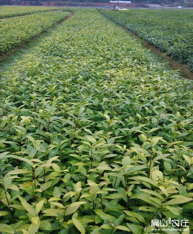 湖南规模油茶基地