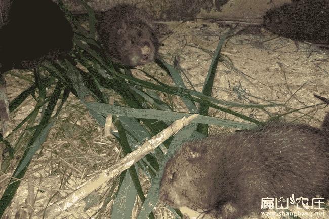 广西最大竹鼠养殖基地