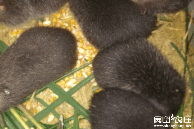 浙江竹鼠种苗养殖基地