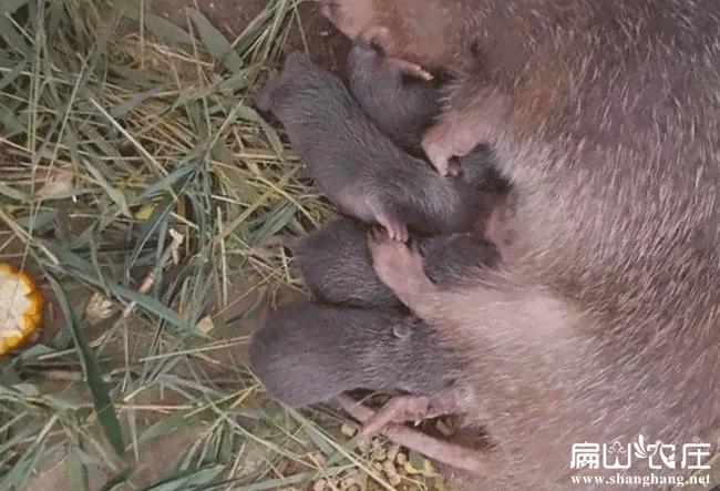 梧州竹鼠养殖培训基地