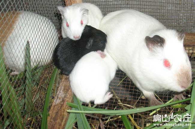 竹鼠养殖繁殖