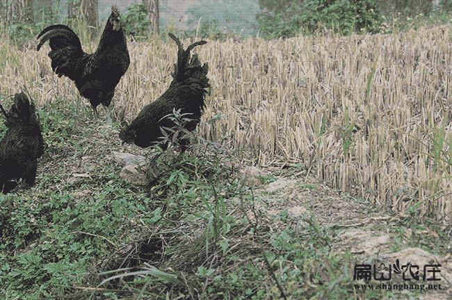 郑州最大的稻田鸡养殖基地