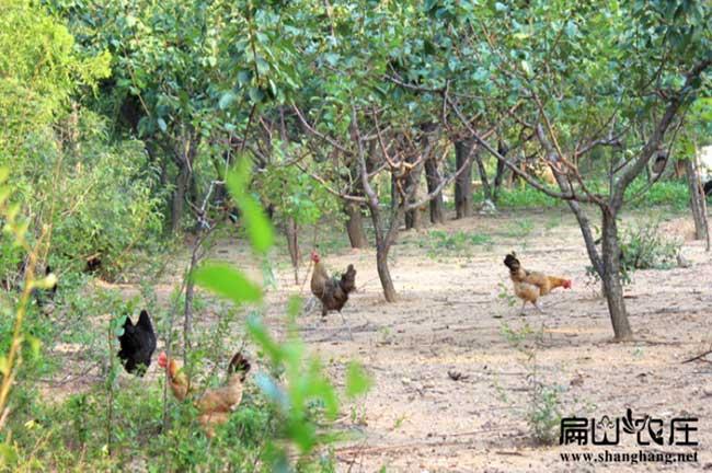 河南树林土鸡养殖基地