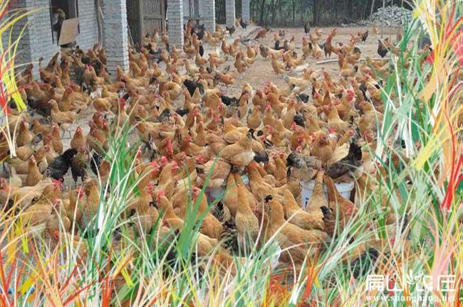 淄博散养土鸡养殖基地