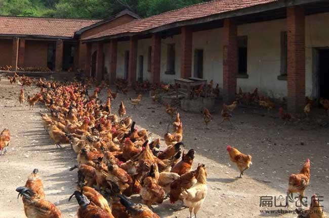泸州老公鸡养殖基地