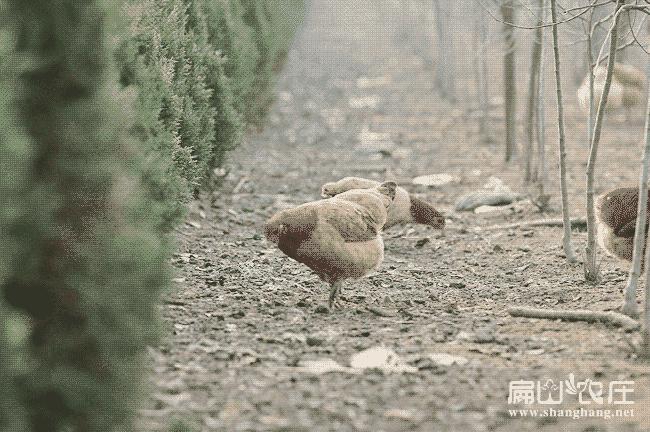 三门峡散养土鸡养殖场