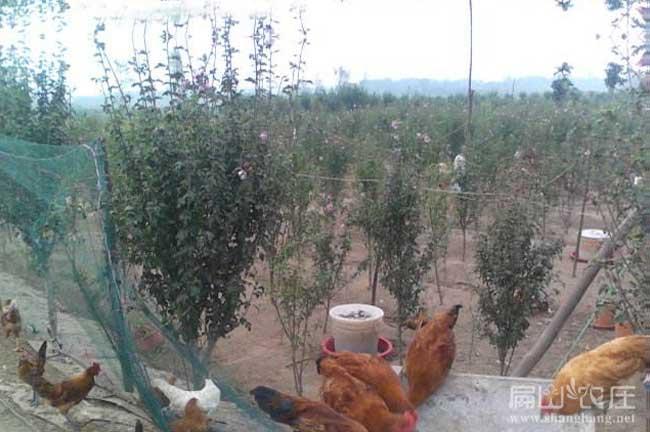 福建最大的小青香山乌蛋养殖基地