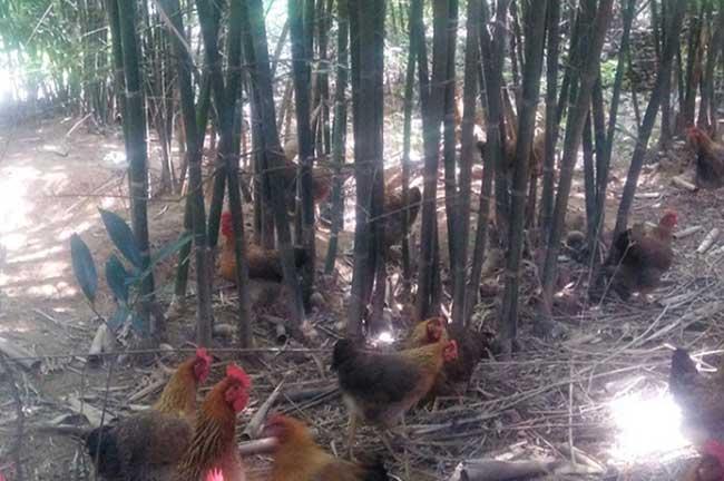 山东泰安竹林鸡养殖基地