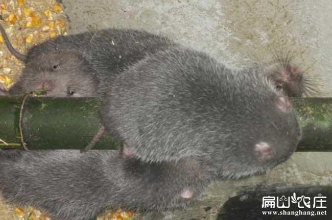 竹鼠喜欢吃竹子