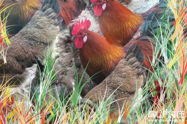 宁德最大的生态土鸡养殖基地