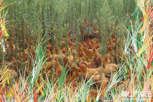 钦州灵山土鸡苗孵化基地