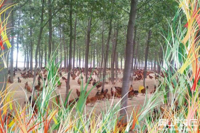 永定最大的散养土鸡养殖基地
