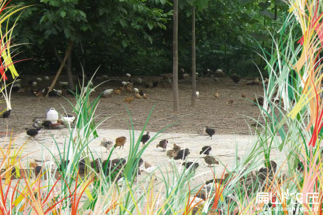 福建最大的鸽子养殖基地