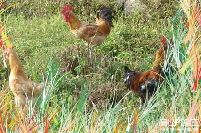 长汀最大中的河田鸡养殖基地