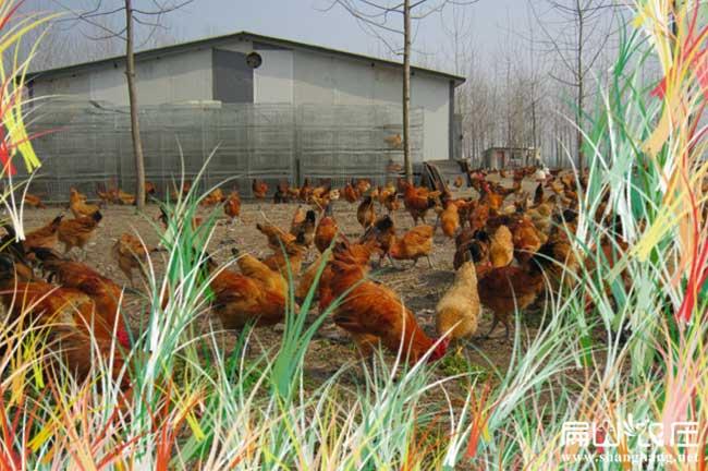 长河最大的公鸡养殖基地