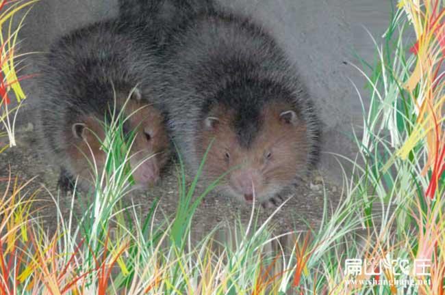 桂林竹鼠种苗价格