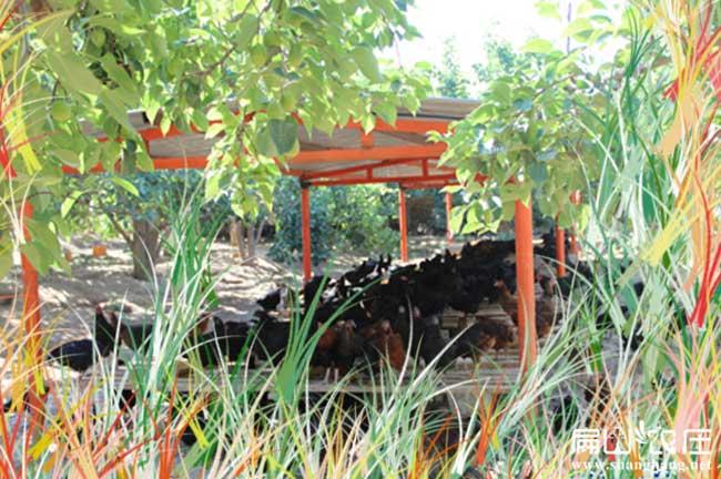 湖北最大的生态农庄养殖土鸡基地