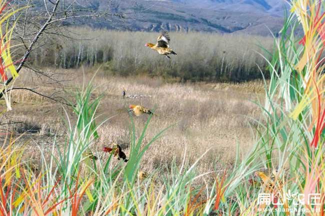湖北最大的田地散养土鸡养殖基地