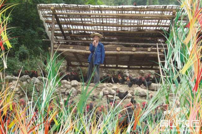 湖北最大的散养土鸡养殖基地