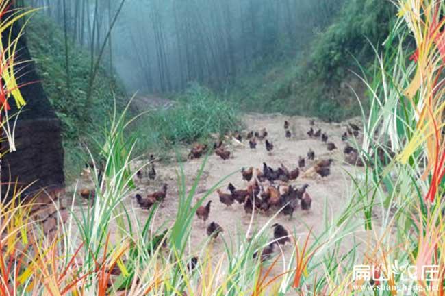 最好散养土鸡养殖基地