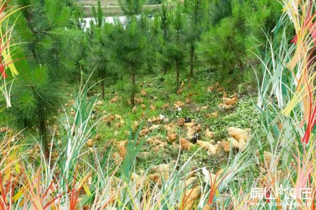 中国真正生态土鸡养殖基地