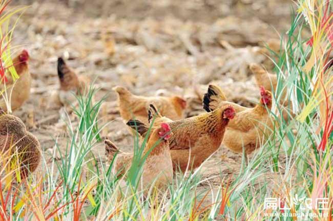 潍坊农场散养鸡蛋